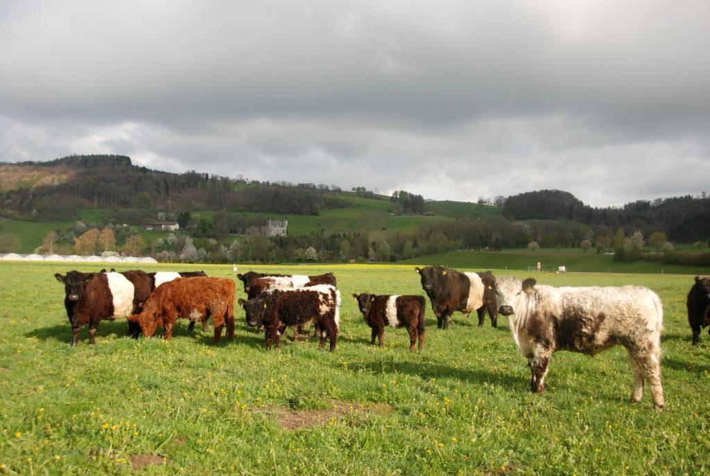 Belted Galloway, natürliche Haltung in Neftenbach